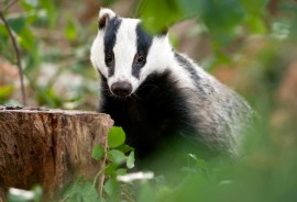 Badger Surveys and Mitigation