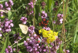 Protected Species Surveys Wild Thyme Assemblage