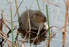 Water Vole Surveys Protection Vole in River