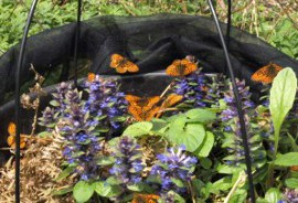 Pearl-Bordered Fritillaries in Sussex