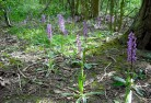 Statutory Agencies Early Purple Orchid
