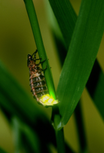 Female Glow worm RSPB