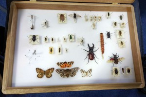 Pinned Invertebrates Display Box Ecology Course