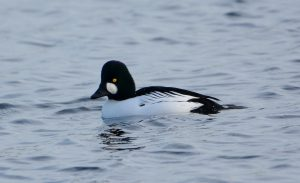 drake goldeneye sighted on Bowyer's Water 2018