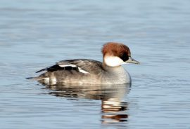 redhead smew sighted on Bowyer's Water