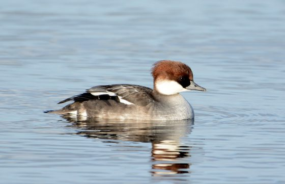 redhead smew sighted on Bowyer's Water by Dave Morrison