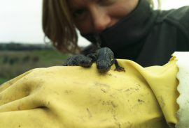 Ecologist handling two great crested newts