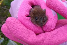 Bank vole trapped on day 1 of the project