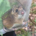 yellow-necked mouse trapped on day 2 and 4