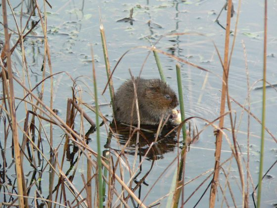 Water vole overwintering research