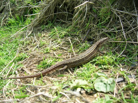 Tranlocated lizard at Betteshanger Colliery