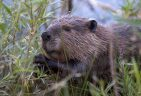 Beavers are being released to alleviate floods