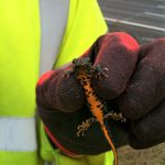 Great crested newt found near motorway
