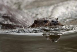 Working with wildlife on site, such as otters