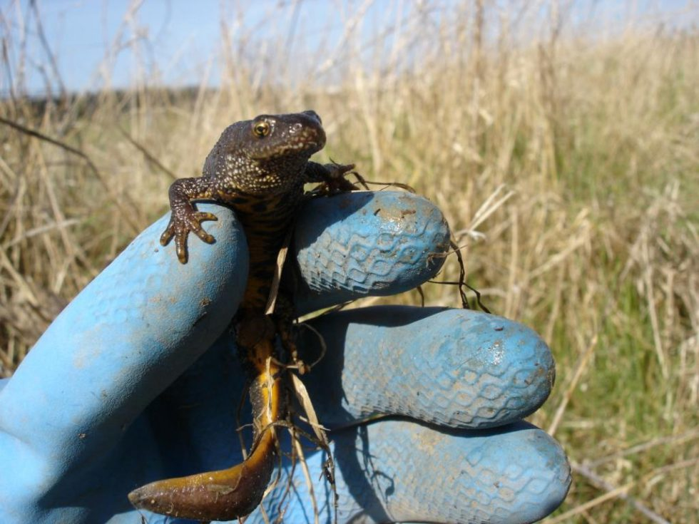 Working with wildlife, such as great crested newt