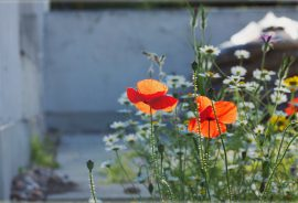 biodiversity net gain - cornfield annuals on green roof